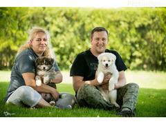 Akita inu, dva vrhunska muška šteneta