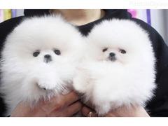 Prodaju se prekrasni pomeranski štenci.
