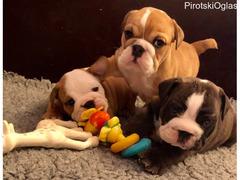 Psi i štenci engleskog buldoga za prodaju