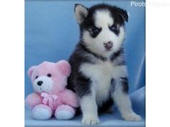Lijepi sibirski mladunci