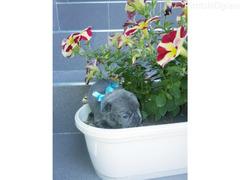 Francuski buldog, plavi štenci