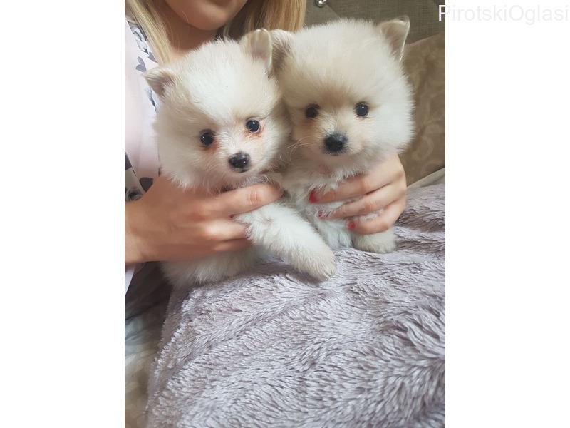 Lijepi bijeli pomeranski štenci