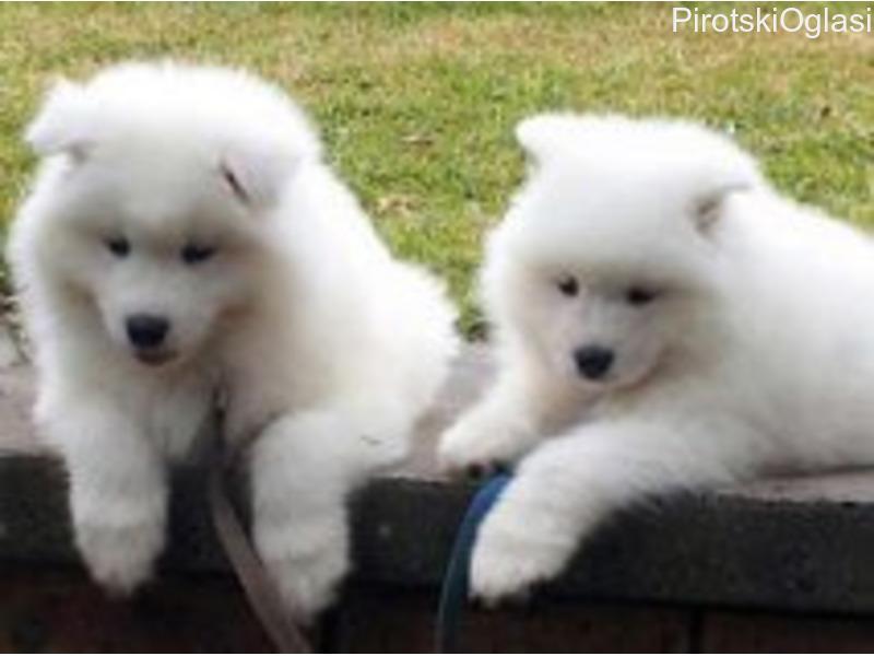 Samojedni štenci na prodaju