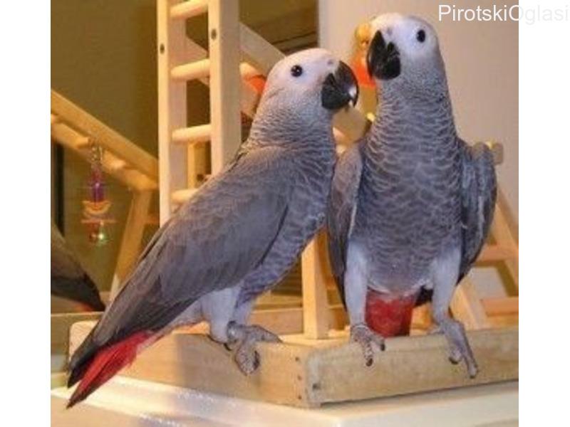 Uzgoj afričkih sivih papiga