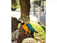 Plavi i zlatni papagaji ara