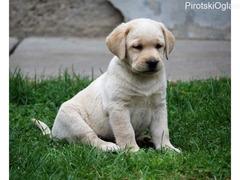 Labrador stenad