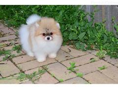 lijepa Pomeranian Puppies za prodaju