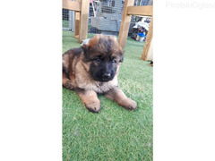 Best Of The Best Kc Registrovani germand šerphed PuppiesNaši
