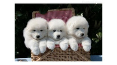 Lijep Samoyed Pups potpuno zdravlje testiran