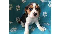 Prodaju se sjajni mužjaci i ženke Beagle štenad