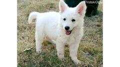 Beli Švajcarski ovčar, prvobirani štenci