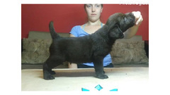 Čokoladni i crni štenci Labradora
