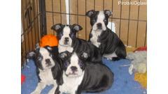 Lovely Boston Terrier Pups