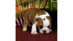Prodaju se psi i buldogi engleskog buldoga