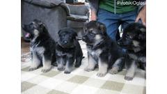 Na prodaju njemački ovčarski psi i štenad