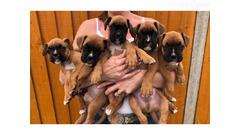 Lijepi bokserski štenci