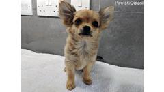Chihuahua psi i štenad kontaktirajte me putem (whatsapp +32460219218) ili (viber +237679571657)