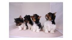 Yorkshire terijer psi i štenad kontaktirajte me putem
