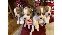 Štenci Beagle dostupni za prodaju kontaktirajte me putem