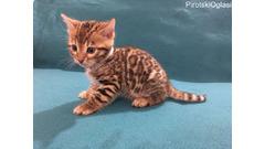 Srebrni bengalski mačići za prodaju kontaktirajte me putem