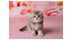 Beautiful Scottish Fold & British Kratite me preko