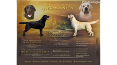 Labrador retriver štenci, crni i žuti (beli)