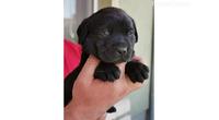 Labrador Retriver štenci