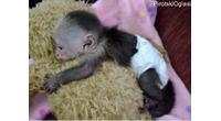 Prodaju se majmuni kapucini