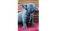 Francuski buldog plavi štenci
