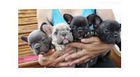 Francuski buldog štenci egzoticnih boja