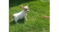 Čivava, prelepi štenci
