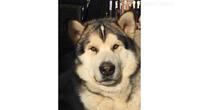 Aljaski malamut, žensko štene