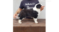 Border Koli, muško štene