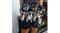 Morki štenci