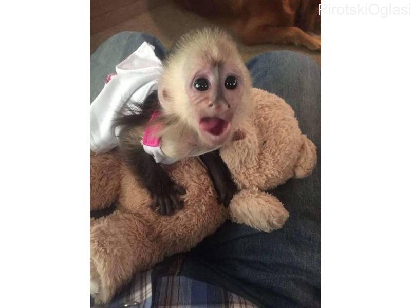 Na raspolaganju su dva ljupka majmuna kapucina