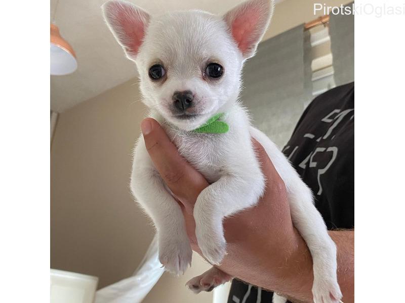 Štenad Beutifull Chihuahua za rehoming