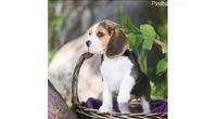 Tri štene Beagles štenad spremni za sada