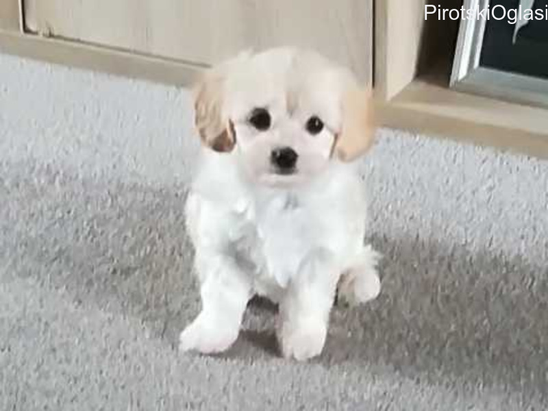 Vrlo slatki šarmantni malteški psići