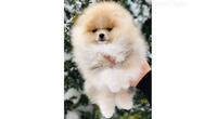 Pomeranac, Pomeranski špic-Boo štenci