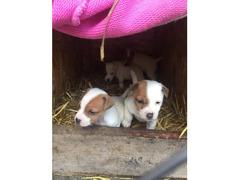 Džek Rassel terijer, prelepi štenci