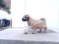 Tibetski terijer štenci