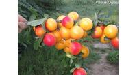 Vocne sadnice - Sorte voća za organsku proizvodnju