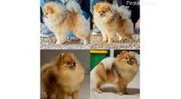 Pomeranski špic, žensko štene
