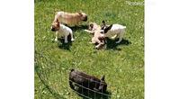 Francuski buldog štenci