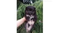 Pomeranac,Pomeranski špic-Boo štene