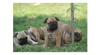 Francuski buldog štenci - rezervacija
