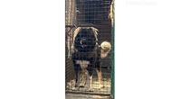 Kavkaski ovčar,dve ženke 5 meseci