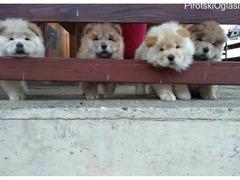 Čau čau štenci