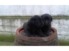 Labrador retriver, prelepi štenci
