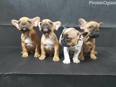 Francuski buldog - prelepi štenci
